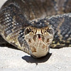 Cottonmouth Water Moccasin