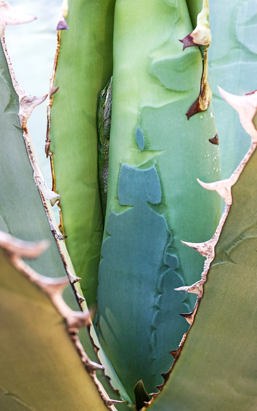 Anole and Agave
