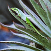 Green Anole shedding its skin