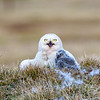 Snowy Owls  Mom And Chick