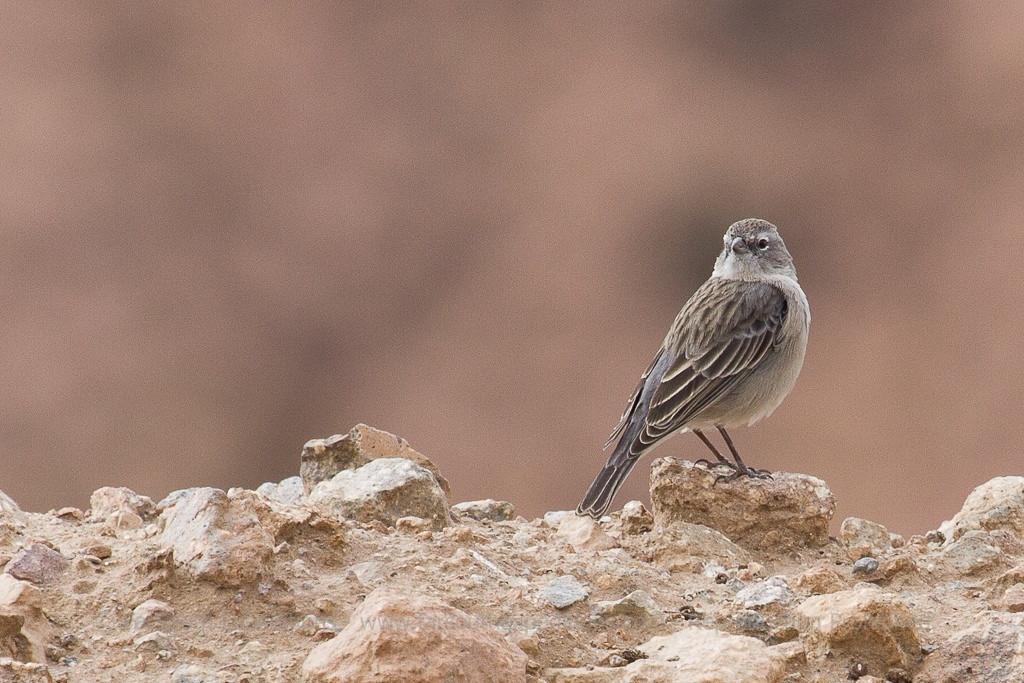 Ash-breasted Sierra Finch, Phrygilus plebejus