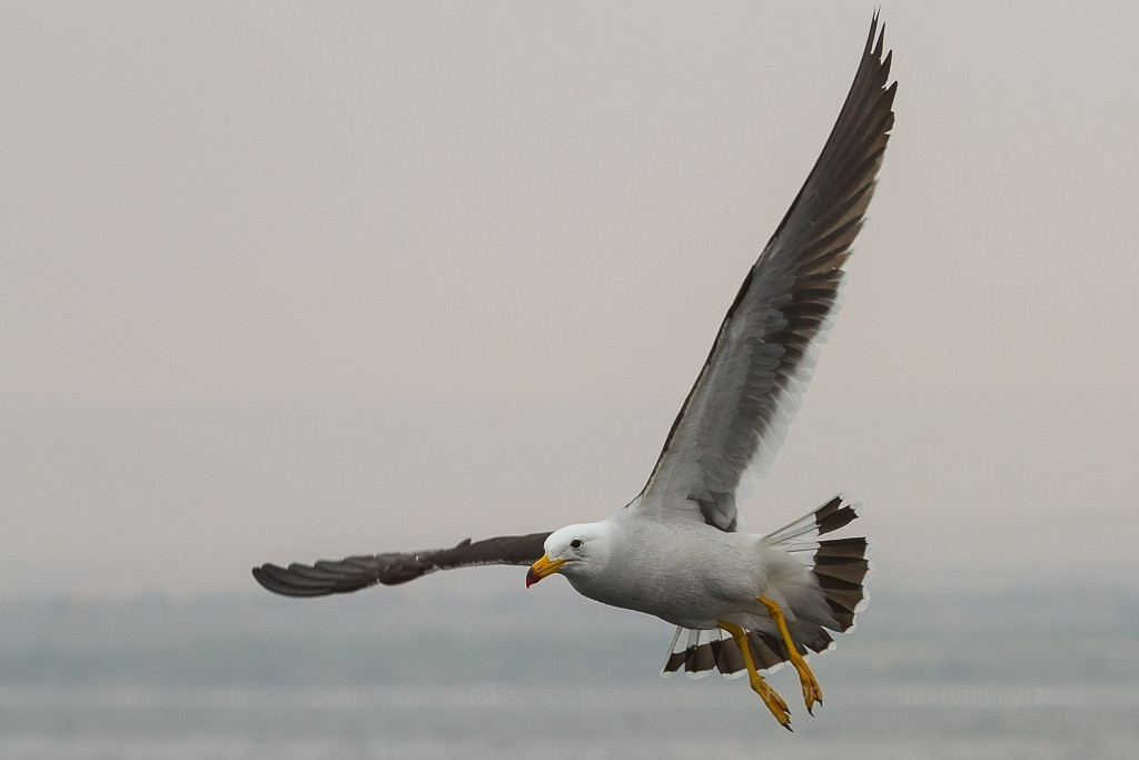 Band-tailed Gull, Larus belcheri