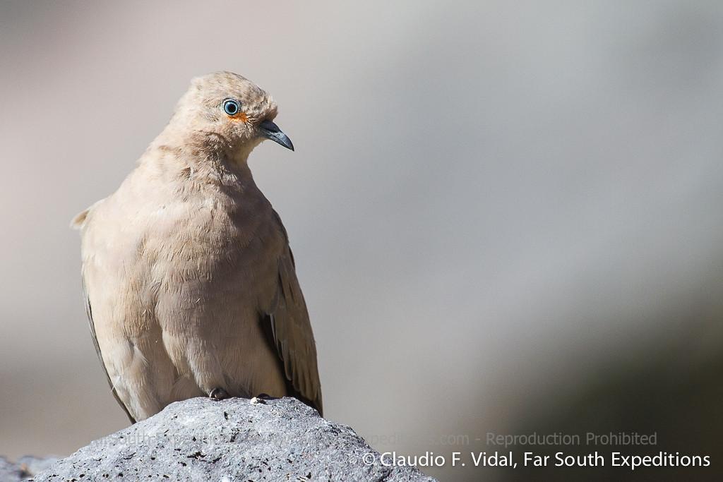 Black-winged Ground-Dove Tórtola Cordillerana   Metriopelia melanoptera, Baños Morales (Metropolitana), Chile - Mar 2015