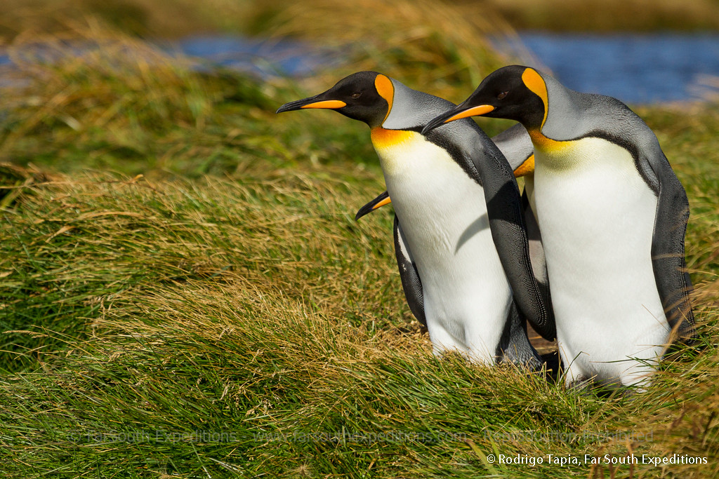 King Penguin | Pingüino Rey | Aptenodytes patagonicus