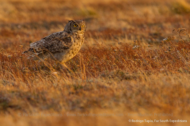 Great Horned Owl, Bubo magellanicus
