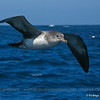 Pink-footed Shearwater, Puffinus creatopus