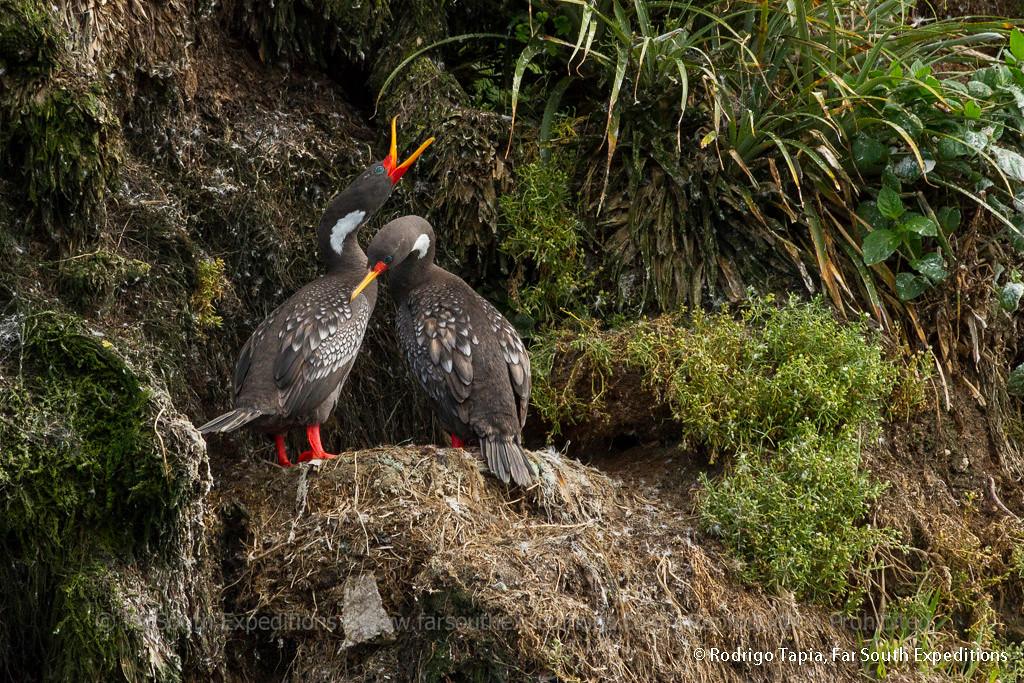 Red-legged Cormorant · Phalacrocorax gaimardi