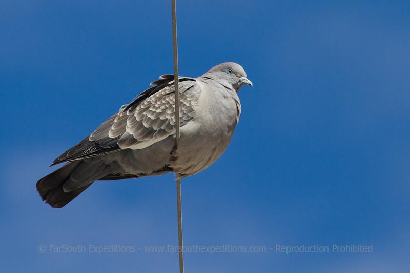 Spot-winged Pigeon, Patagioenas maculosa