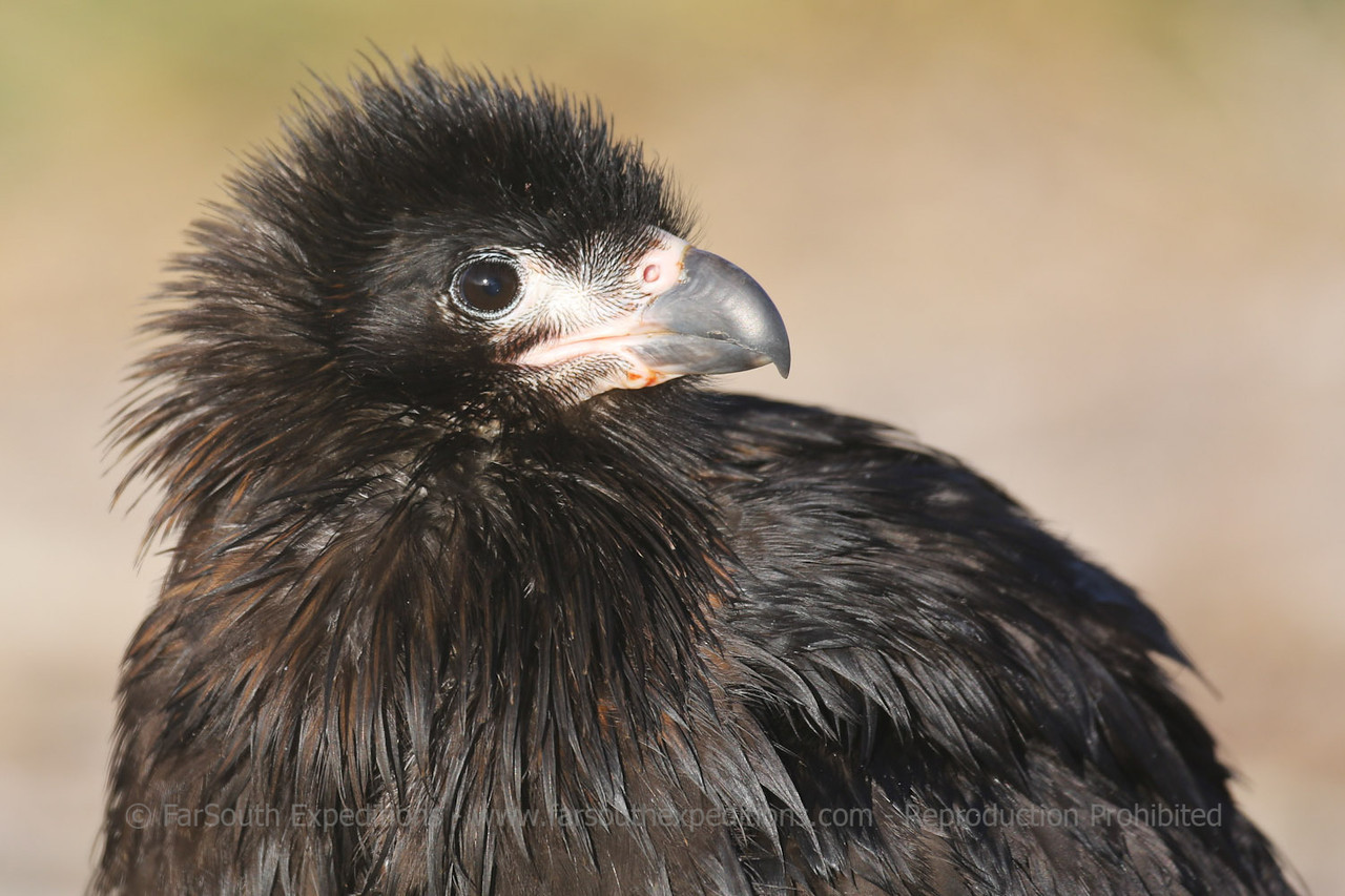 "Juvenile of Striated Caracara or ""Johnny Rook"" (Phalcoboenus australis), Falkland Islands / Islas Malvinas"