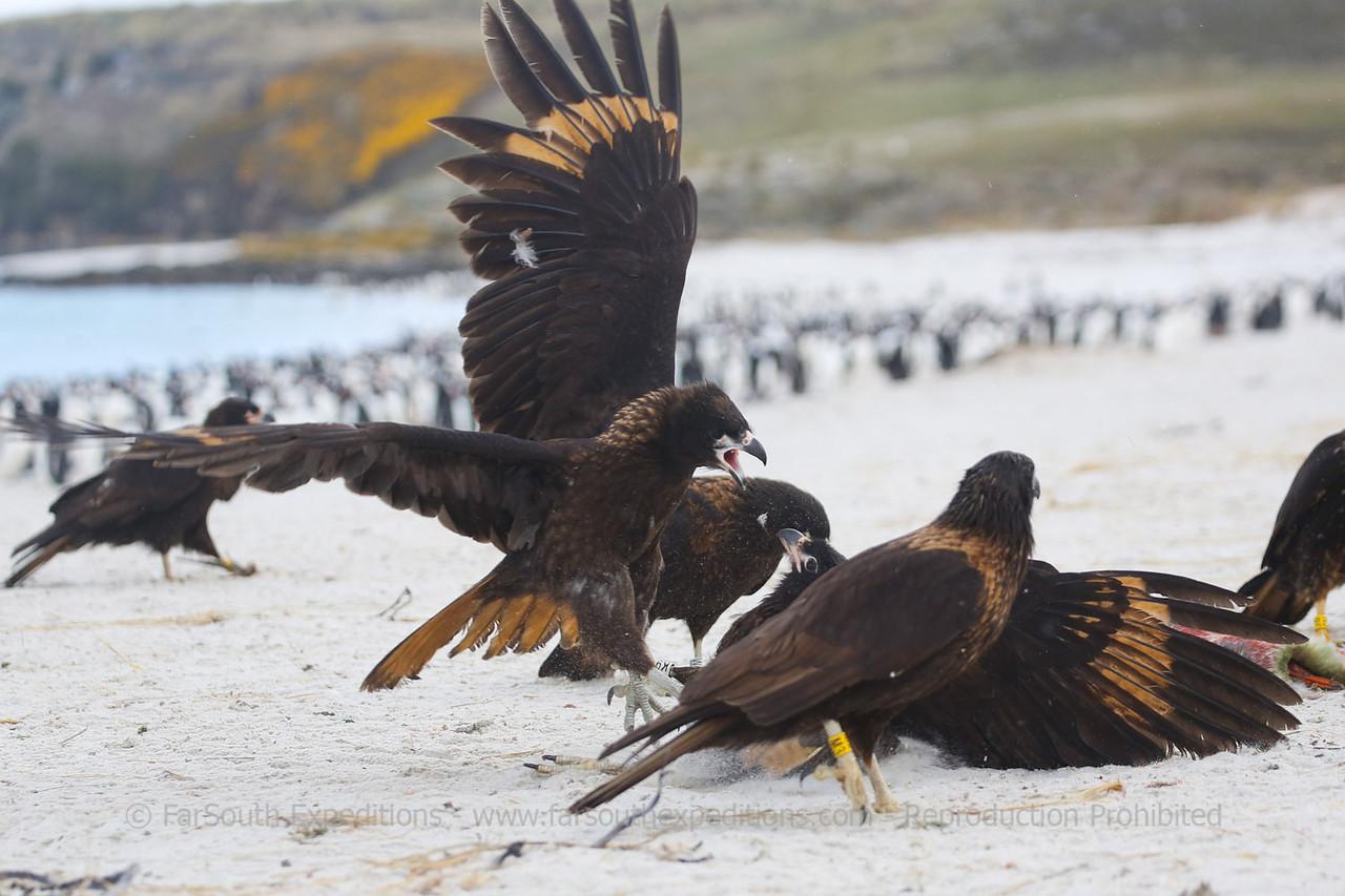 "Striated Caracaras or ""Johnny Rooks"" gathering around a penguin carcass, Falkland Islands / Islas Malvinas"
