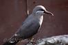 Juvenile Inca Tern