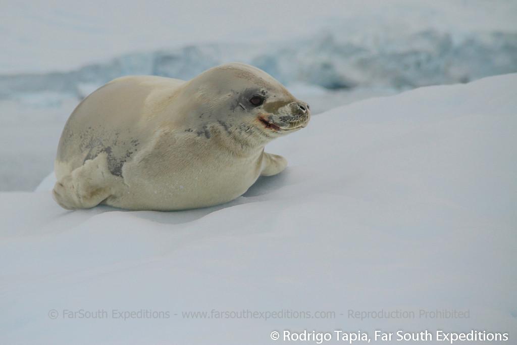 Crabeater Seal • (Lobodon carcinophagus)
