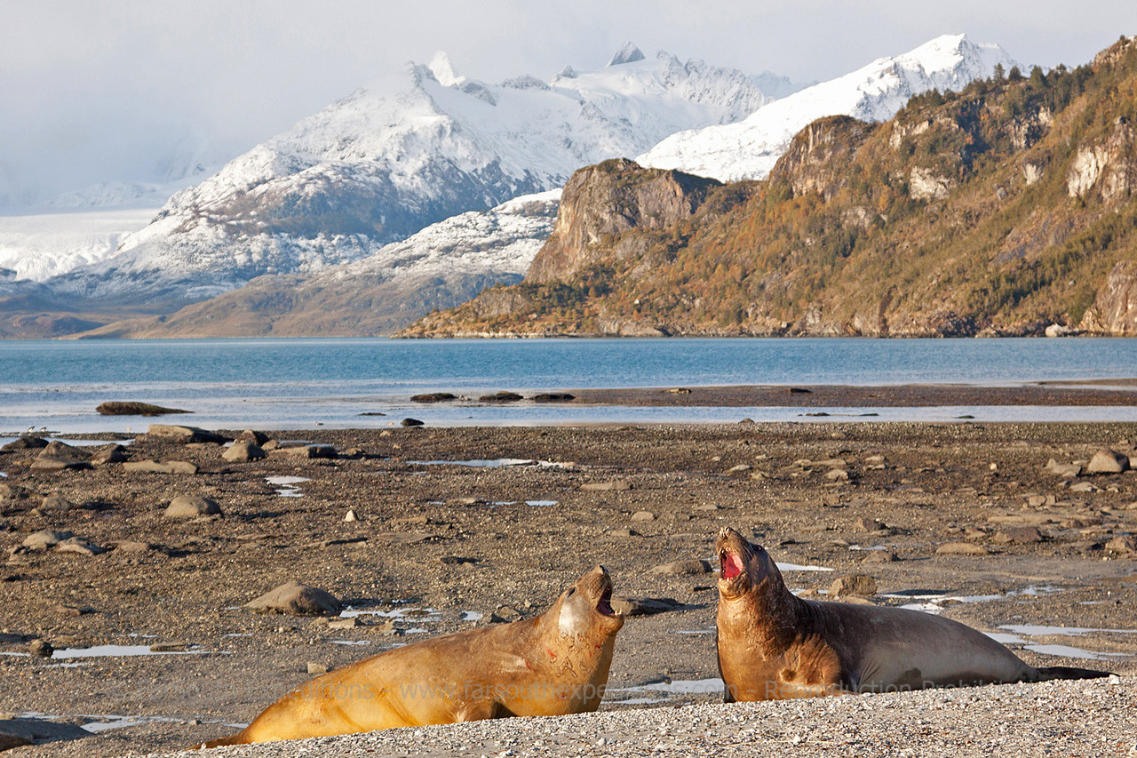 "Southern Elephant Seal (Mirounga leonina), Ainsworth Bay, western Tierra del Fuego, Chilean Patagonia © Enrique Couve, Far South Expeditions -  <a href=""http://www.farsouthexpeditions.com"">http://www.farsouthexpeditions.com</a>"