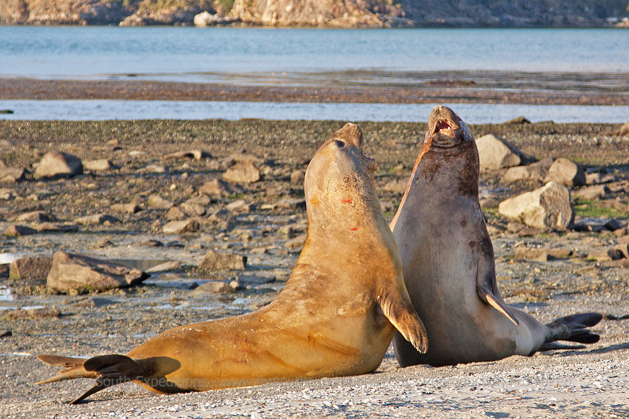 Southern Elephant Seal (Mirounga leonina), Ainsworth Bay, western Tierra del Fuego, Chilean Patagonia