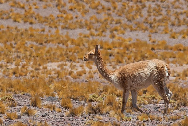 "Vicuña, near Laguna Miscanti, Antofagasta, Chile © Enrique Couve, FS Expeditions |  <a href=""http://www.fsexpeditions.com"">http://www.fsexpeditions.com</a>"