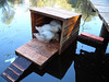 Mike and Tim designed and built this haven for the geese to escape predators. It floats on a large piece of boat-dock styrofoam and has a cross-piece for stabilization.<br /> Cute, huh?<br /> <br /> It's attached to the dock by a long nylon rope so we can pull it in for cleaning.