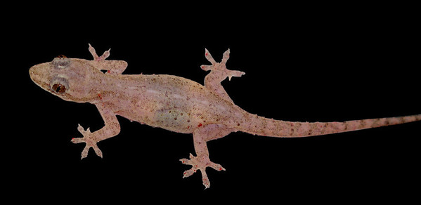 Gecko are sometimes translucent -