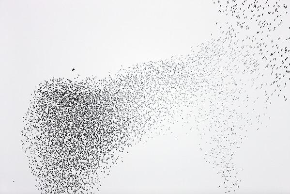 BT Vögel Nr. Peregrine Falcon hunting Common Starling