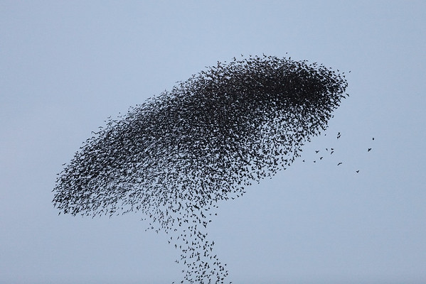 BT Vögel Nr. Starling / Star