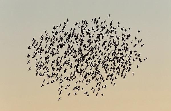 BT Vögel Nr. 42-38954927