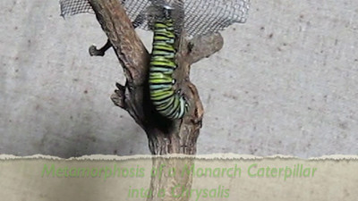 WHOOPS - Sorry for the abrupt cut - MUST RELOAD.  The Monarch caterpillar morph's into a chrysalis on video
