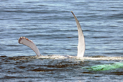 "Humpback Whale Flipping Fin (""pectoral slapping"")"