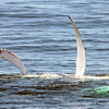 """Humpback Whale Flipping Fin (""""pectoral slapping"""")"""