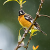 Black-headed grosbeak - male.
