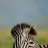 Burchell's Zebra. KwaZulu Natal. South Africa