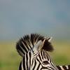Burchell's Zebra. KwaZulu Natal. South Africa