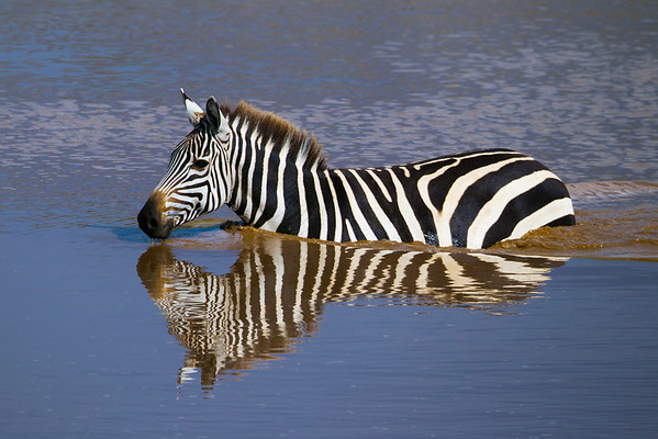 Zebra crossing Talek River, Zebra durchschwimmt den Talek River