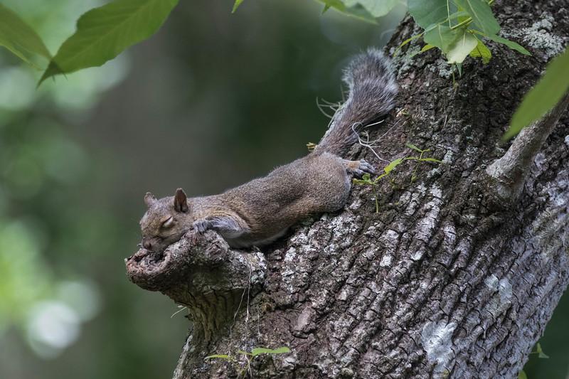 Grey Squirrel<br /> Location: Pinecraft Park, Sarasota FL
