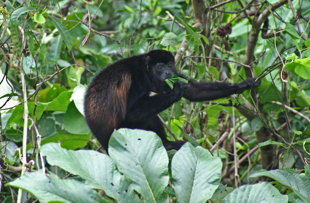 Mono de Manzanillo, January 2004