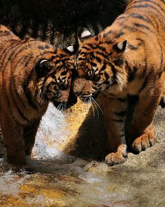 Tiger Cubs LA Zoo