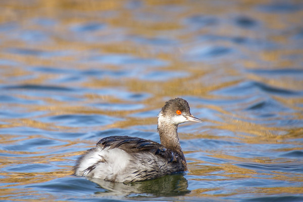 Fearless Grebe