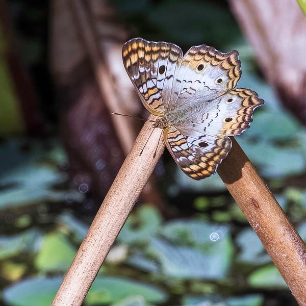 Butterfly<br /> Location: Sarasota County, FL
