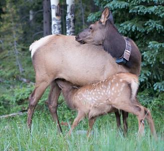 Collared Elk and Nursing Calf