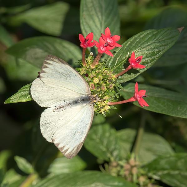 Butterfly<br /> Sarasota Jungle Gardens