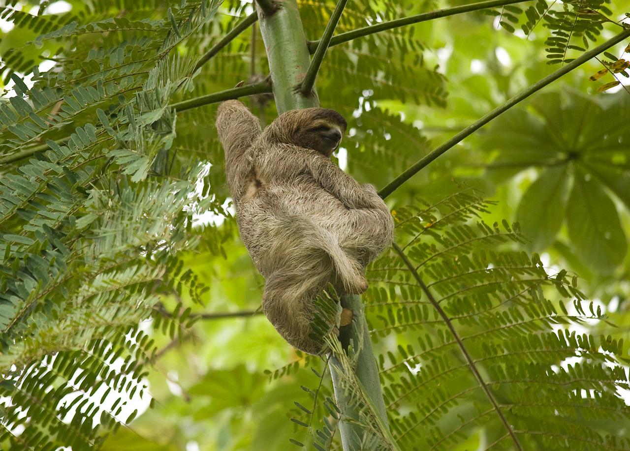 Sloth, Uvita
