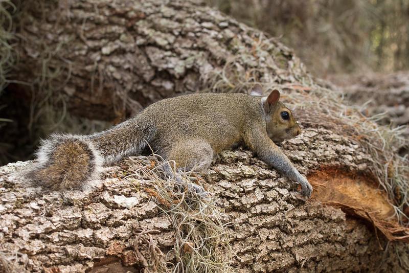 Grey Squirrel<br /> Location: Circle B Bar Reserve, Polk County, FL