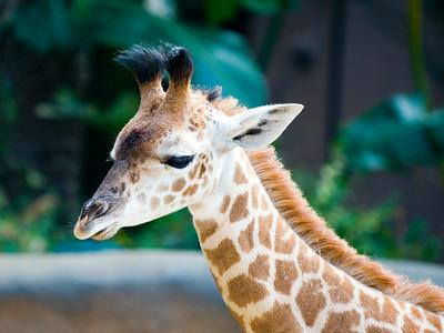 Baby Giraffe Santa Barbara Zoo