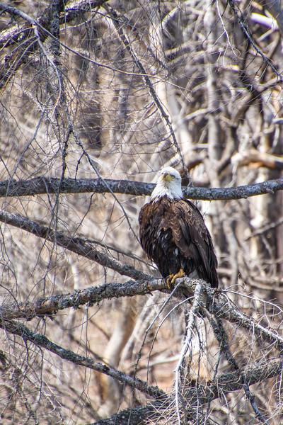 Bald Eagle taking a break from fishing