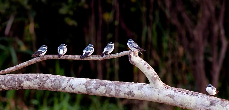 Puff Birdies On A Log