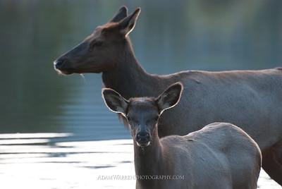 Sprague Lake Elk