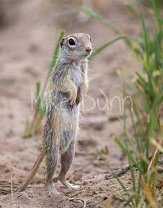 Spotted Ground Squirrel-2