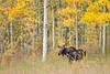 Moose, Maroon Creek, Colorado