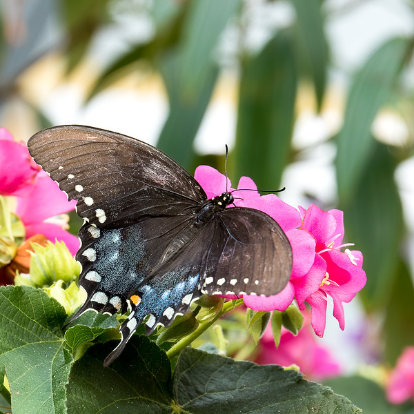 Butterfly<br /> Selby Gardens