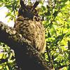 Great Horned Owl: Berkeley, California
