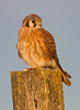 American Kestrel, Wildlife Preserve, San Joaquin Valley, California