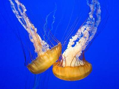 Jellyfish Monterey Aquarium